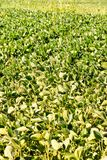 Soy Bean Plant Field Stock Photography