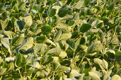 Soy Bean Plant Field Royalty Free Stock Photography