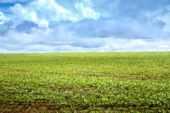 Soy bean plantation in Brazil, South America Stock Photo