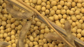 Soy Bean Plants and Beans stock footage