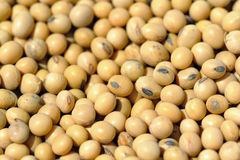Free Soy Beans Royalty Free Stock Photo - 7187425
