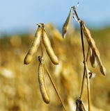 Soy beans field. Soy Beans in field during autumn. Soybeans pod macro. Harvest of soy beans - agriculture legumes plant. Soybean field - dry soyas pods Stock Photo