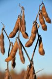 Soy beans in the field ready to harvest Royalty Free Stock Images