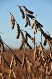 Soy beans in the field ready to harvest Royalty Free Stock Photos