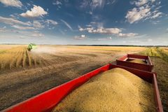 Soy beans in tractor trailer Stock Image