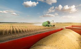 Soy beans in tractor trailer Royalty Free Stock Image