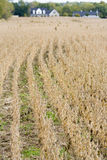 Soy farm. Soy field with rows of dry soy and a farm house in the background Royalty Free Stock Photography