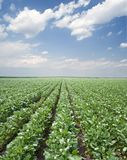 Soy field Royalty Free Stock Image