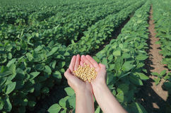 Soy field Stock Photo