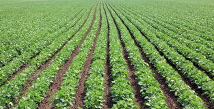 Soy field Royalty Free Stock Photo