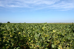 Soy field. With nice blue sky above Royalty Free Stock Photos