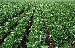 Soy field Stock Photos