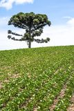 Soy field and Araucaria tree. Araucaria tree and Soy fiel on farm in Santa Catarina State, South of Brazil Stock Photos
