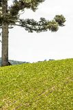 Soy field and Araucaria tree. Araucaria tree and Soy fiel on farm in Santa Catarina State, South of Brazil Stock Photography