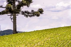 Soy field and Araucaria tree. Araucaria tree and Soy fiel on farm in Santa Catarina State, South of Brazil Royalty Free Stock Image