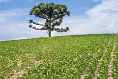 Soy field. Araucaria tree and soy field in brazil Royalty Free Stock Photos