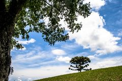 Soy field and Araucaria tree. Araucaria tree and Soy fiel on farm in Santa Catarina State, South of Brazil Stock Image