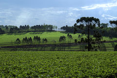 Soy field Stock Photography