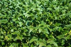Soy field plantation Royalty Free Stock Photo