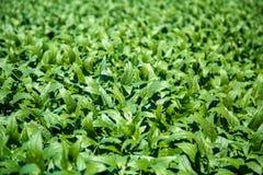 Soy field plantation Stock Photo