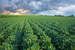 Soy field with rows of soya bean plants Royalty Free Stock Photo