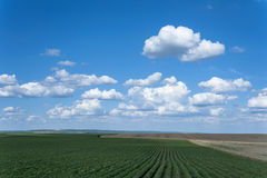 Soy field with rows of soya and beautiful white clouds Royalty Free Stock Image