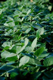 Soy fields Royalty Free Stock Image