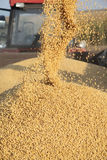 Soy harvest. Pouring soy bean into tractor trailer from grain auger of combine Royalty Free Stock Images