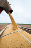 Soy Harvest. Harvested soy beans being poured into a truck for transportation Stock Photography