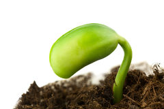 Soy plant Stock Photography