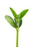 Soy plant Royalty Free Stock Photos