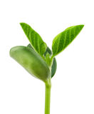 Soy plant Royalty Free Stock Images