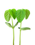 Soy plant Stock Images