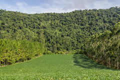 Soy plantation and Eucalyptus and Pine forest. In Linha Alegre, Mucum, Rio Grande do Sul, Brazil stock images