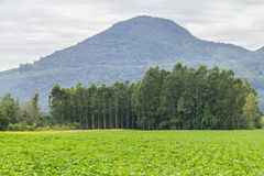 Soy plantation in Farm Royalty Free Stock Images