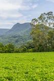 Soy plantation in Farm Royalty Free Stock Image