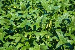 Soy plantation field plan Stock Photos