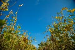 Soy plantation field sunset Stock Image