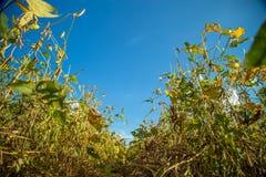 Soy plantation field sunset Royalty Free Stock Photos