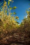 Soy plantation field sunset Royalty Free Stock Photography