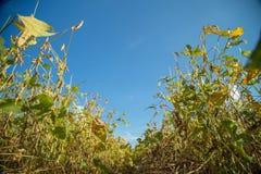 Soy plantation field sunset Stock Photo