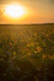 Soy plantation sunset Royalty Free Stock Images