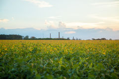 Soy plantation sunset Stock Photo