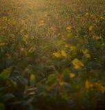 Soy plantation sunset Royalty Free Stock Photos