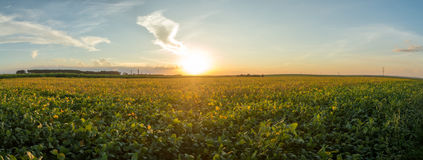 Soy plantation sunset Stock Image