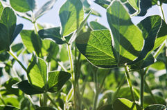 Soy plants, close up Stock Images