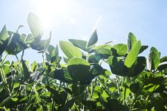 Soy plants, close up Stock Image