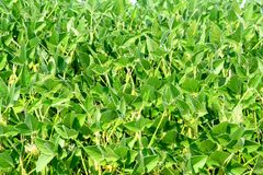 Soy plants in garden Royalty Free Stock Photos