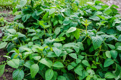 Soy plants Royalty Free Stock Photos