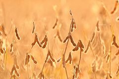 Soy pods growing in a field. Soy agriculture Stock Image